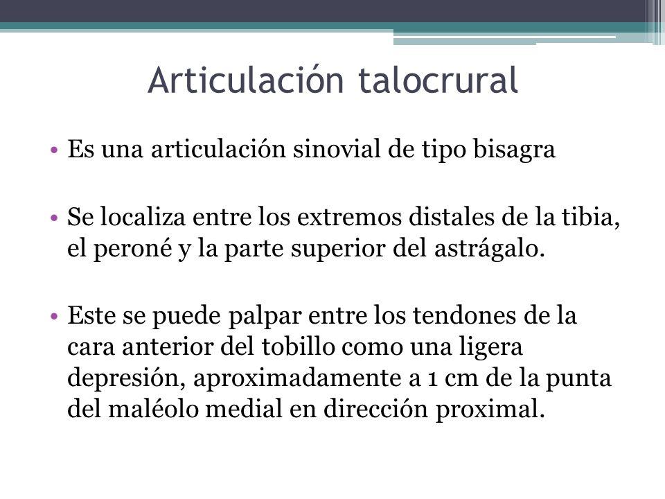 Articulación talocrural Es una articulación sinovial de tipo bisagra Se localiza entre los extremos distales de la tibia, el peroné y la parte superio