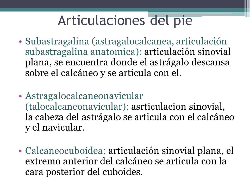 Articulaciones del pie Subastragalina (astragalocalcanea, articulación subastragalina anatomica): articulación sinovial plana, se encuentra donde el a