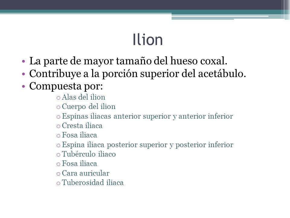 Ilion La parte de mayor tamaño del hueso coxal. Contribuye a la porción superior del acetábulo. Compuesta por: o Alas del ilion o Cuerpo del ilion o E