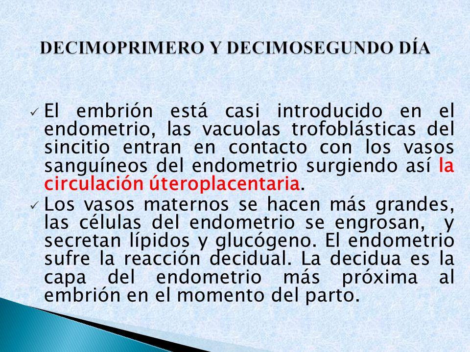 El embrión está casi introducido en el endometrio, las vacuolas trofoblásticas del sincitio entran en contacto con los vasos sanguíneos del endometrio