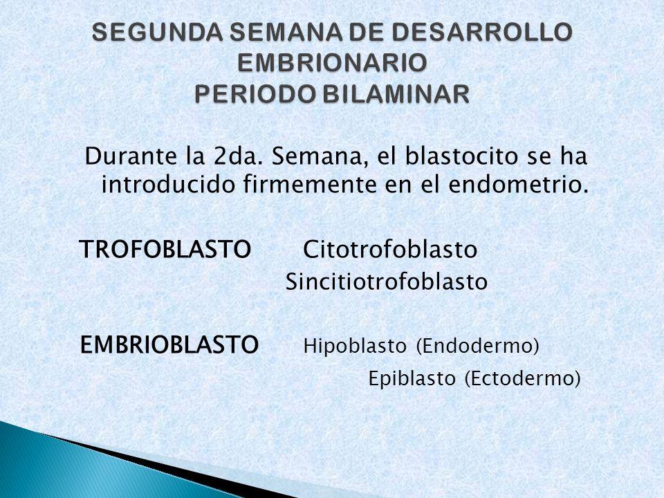 Durante la 2da. Semana, el blastocito se ha introducido firmemente en el endometrio. TROFOBLASTO Citotrofoblasto Sincitiotrofoblasto EMBRIOBLASTO Hipo