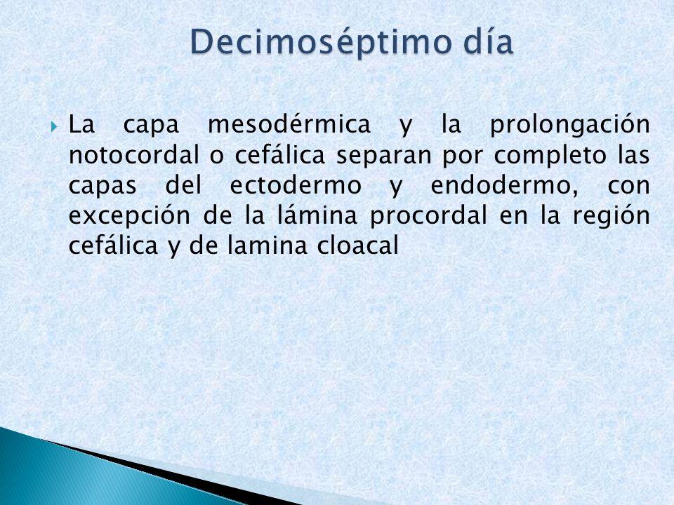La capa mesodérmica y la prolongación notocordal o cefálica separan por completo las capas del ectodermo y endodermo, con excepción de la lámina proco