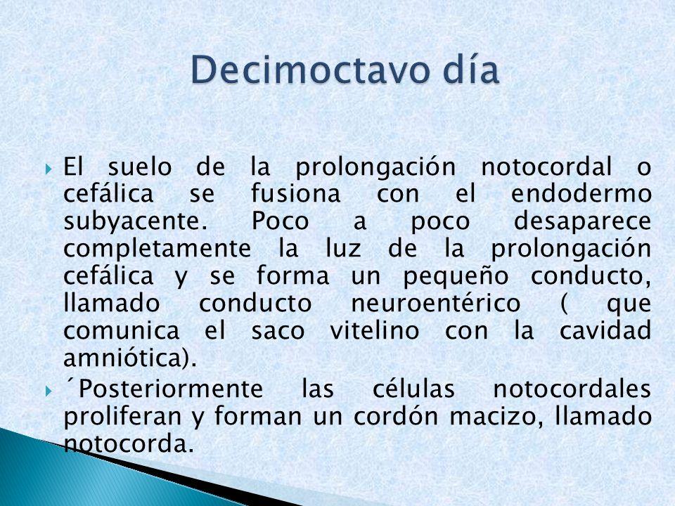 El suelo de la prolongación notocordal o cefálica se fusiona con el endodermo subyacente. Poco a poco desaparece completamente la luz de la prolongaci