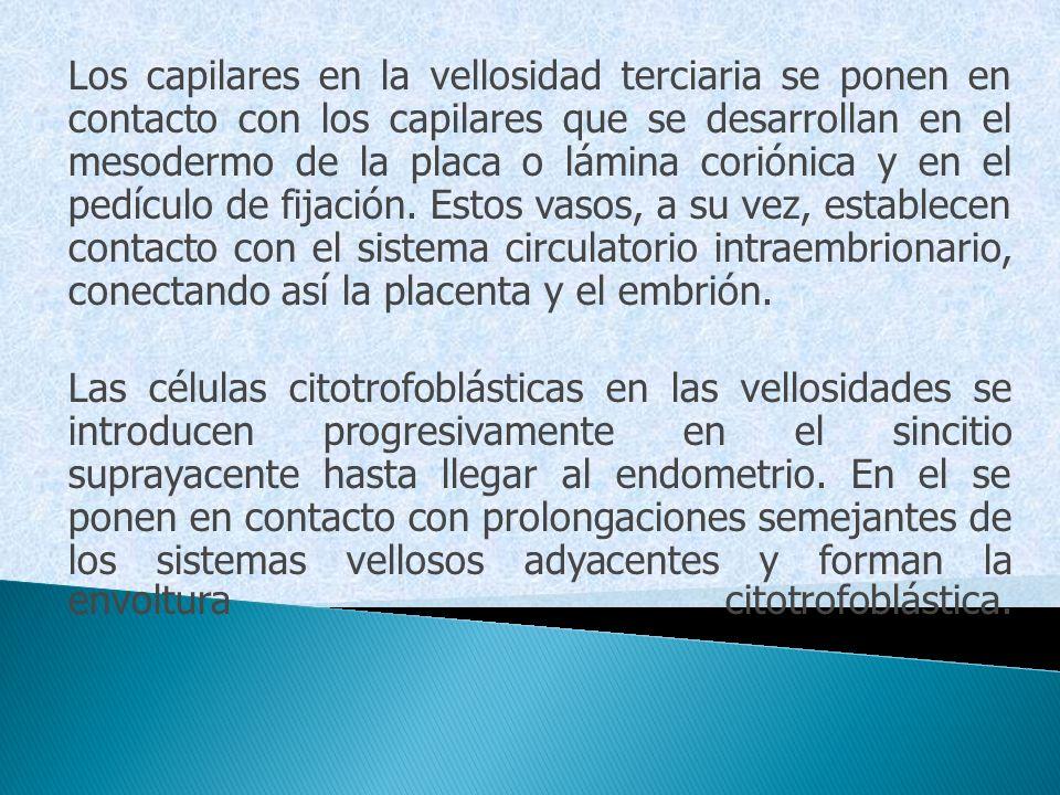Los capilares en la vellosidad terciaria se ponen en contacto con los capilares que se desarrollan en el mesodermo de la placa o lámina coriónica y en