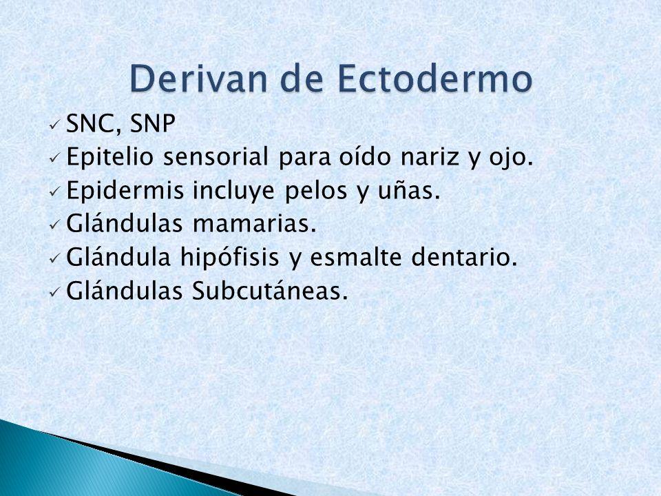 SNC, SNP Epitelio sensorial para oído nariz y ojo. Epidermis incluye pelos y uñas. Glándulas mamarias. Glándula hipófisis y esmalte dentario. Glándula