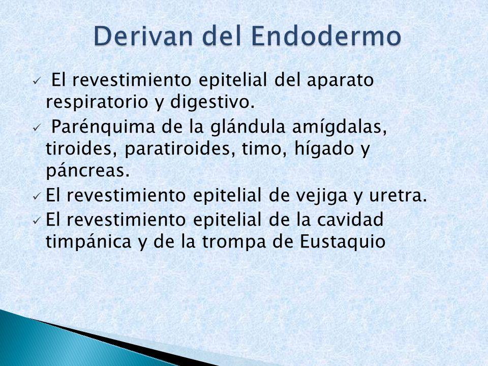 El revestimiento epitelial del aparato respiratorio y digestivo. Parénquima de la glándula amígdalas, tiroides, paratiroides, timo, hígado y páncreas.