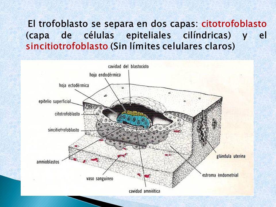 El trofoblasto se separa en dos capas: citotrofoblasto (capa de células epiteliales cilíndricas) y el sincitiotrofoblasto (Sin límites celulares claro