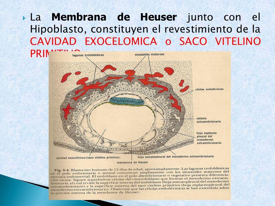 La Membrana de Heuser junto con el Hipoblasto, constituyen el revestimiento de la CAVIDAD EXOCELOMICA o SACO VITELINO PRIMITIVO.