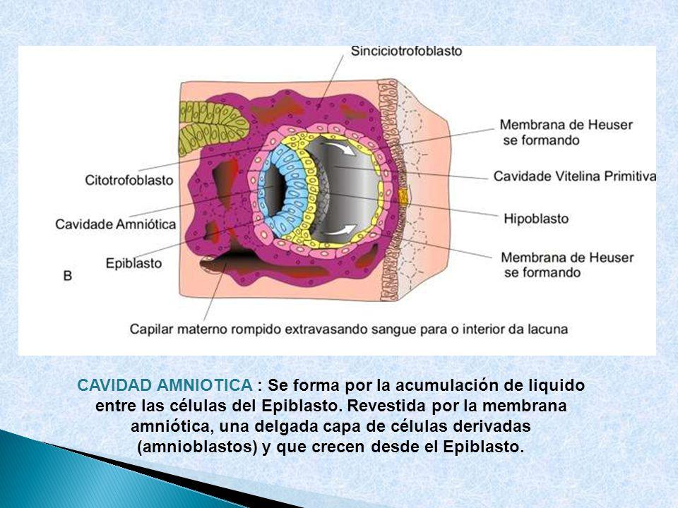 CAVIDAD AMNIOTICA : Se forma por la acumulación de liquido entre las células del Epiblasto. Revestida por la membrana amniótica, una delgada capa de c