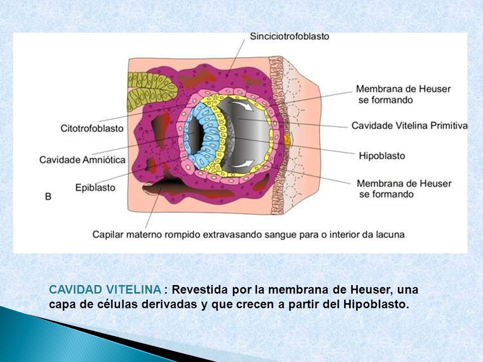 CAVIDAD VITELINA : Revestida por la membrana de Heuser, una capa de células derivadas y que crecen a partir del Hipoblasto.