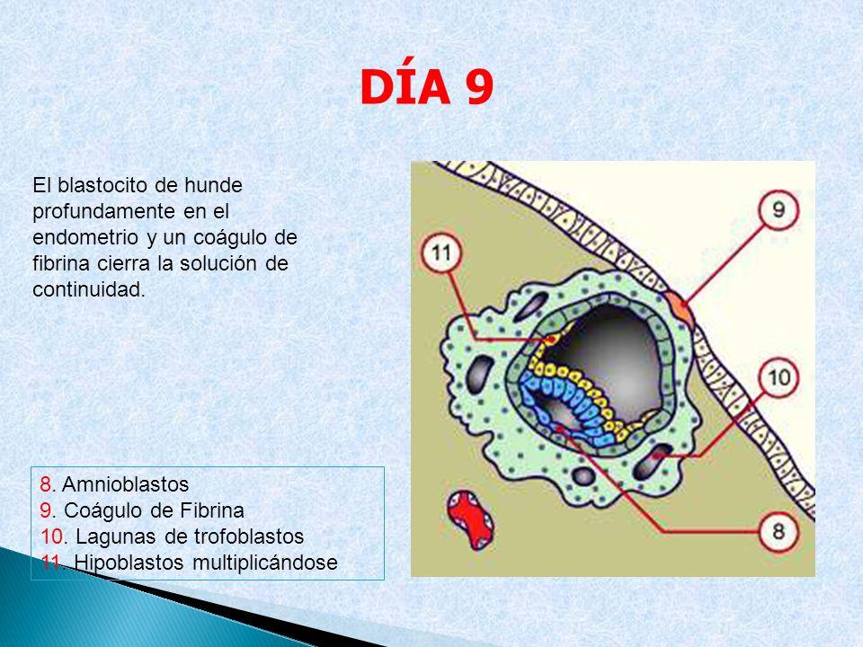 8. Amnioblastos 9. Coágulo de Fibrina 10. Lagunas de trofoblastos 11. Hipoblastos multiplicándose El blastocito de hunde profundamente en el endometri