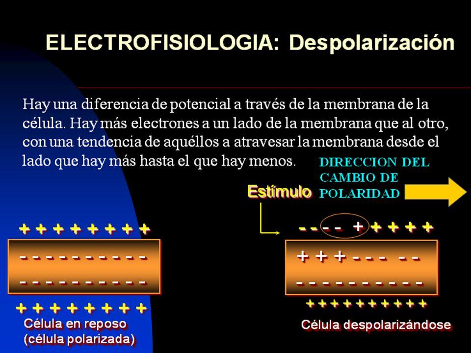 58 ELECTROCARDIOGRAMA NORMAL Intervalo PR.- su límite normal de oscilación es de 120 a 200 mseg.