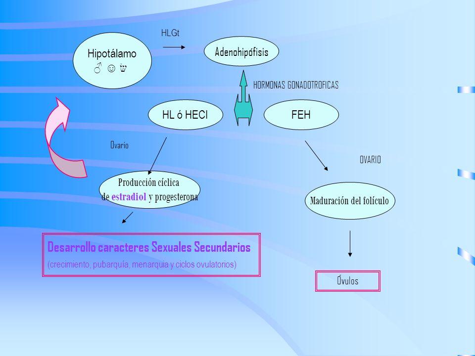 Hipotálamo Adenohipófisis FEHHL ó HECI Maduración del folículo Producción cíclica de estradiol y progesterona HORMONAS GONADOTROFICAS Ovario OVARIO De