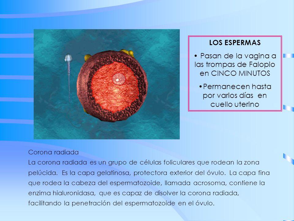 Corona radiada La corona radiada es un grupo de células foliculares que rodean la zona pelúcida. Es la capa gelatinosa, protectora exterior del óvulo.