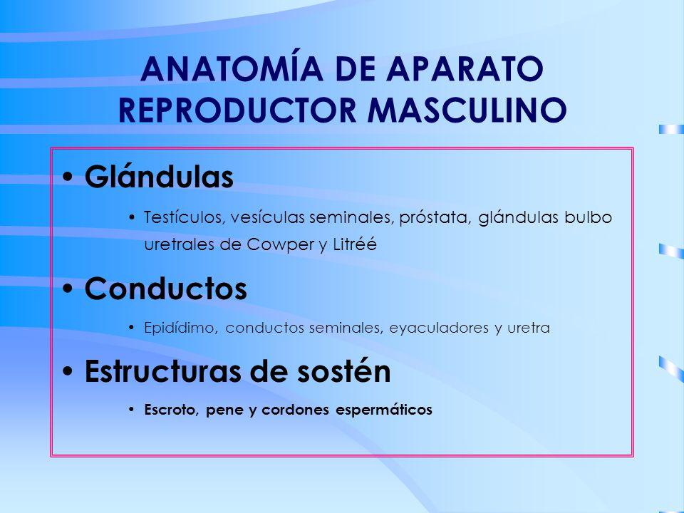 ANATOMÍA DE APARATO REPRODUCTOR MASCULINO Glándulas Testículos, vesículas seminales, próstata, glándulas bulbo uretrales de Cowper y Litréé Conductos