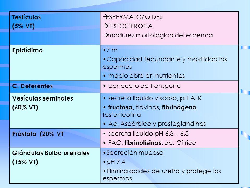 Testículos (5% VT) ESPERMATOZOIDES TESTOSTERONA madurez morfológica del esperma Epidídimo 7 m Capacidad fecundante y movilidad los espermas medio obre