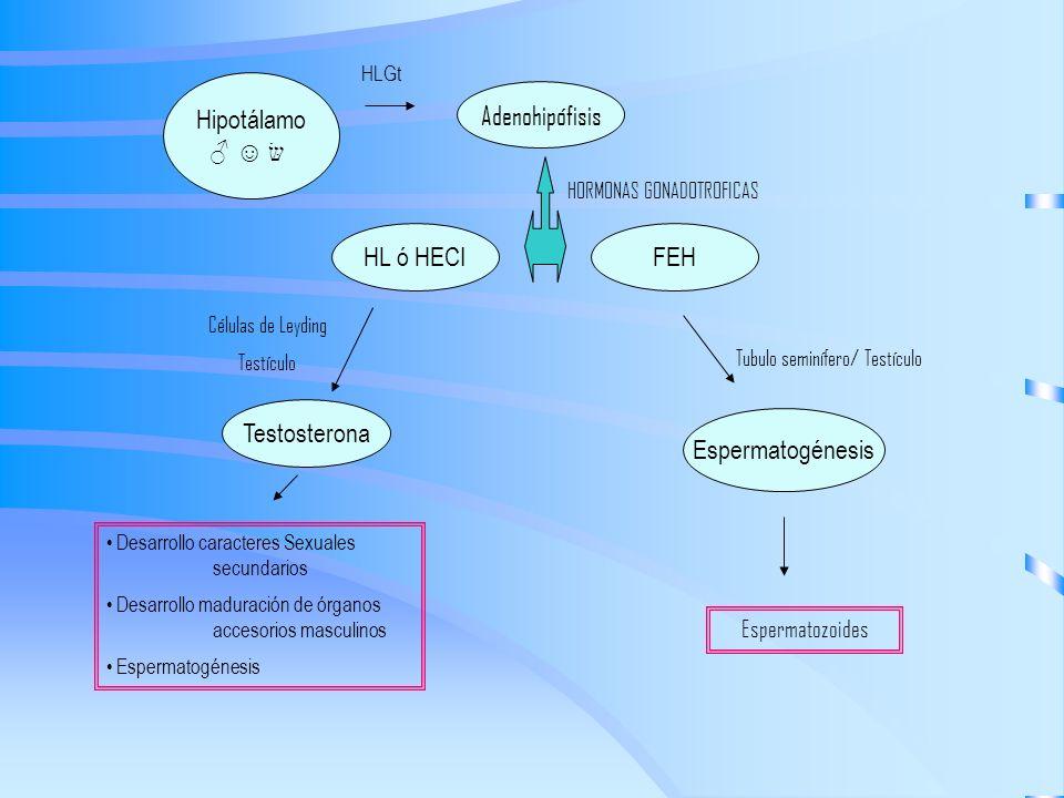 Hipotálamo Adenohipófisis FEHHL ó HECI Espermatogénesis Testosterona HORMONAS GONADOTROFICAS Células de Leyding Testículo Tubulo seminífero/ Testículo