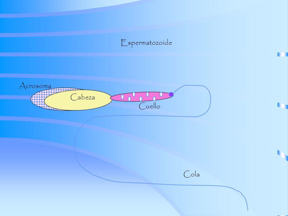 Espermatozoide Cabeza Cuello Cola Acrosoma