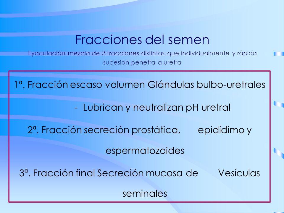 Fracciones del semen Eyaculación mezcla de 3 fracciones distintas que individualmente y rápida sucesión penetra a uretra 1ª. Fracción escaso volumen G