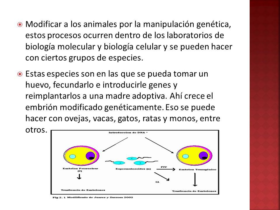 Modificar a los animales por la manipulación genética, estos procesos ocurren dentro de los laboratorios de biología molecular y biología celular y se