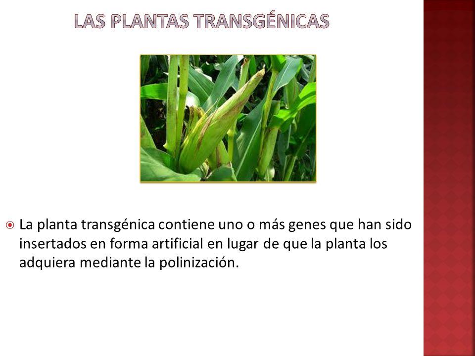 La planta transgénica contiene uno o más genes que han sido insertados en forma artificial en lugar de que la planta los adquiera mediante la poliniza