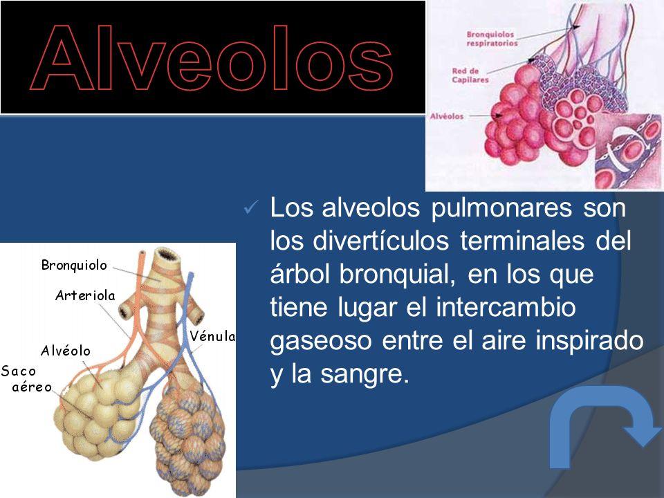 Los alveolos pulmonares son los divertículos terminales del árbol bronquial, en los que tiene lugar el intercambio gaseoso entre el aire inspirado y la sangre.