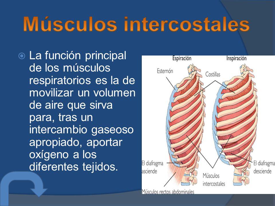 La función principal de los músculos respiratorios es la de movilizar un volumen de aire que sirva para, tras un intercambio gaseoso apropiado, aportar oxígeno a los diferentes tejidos.