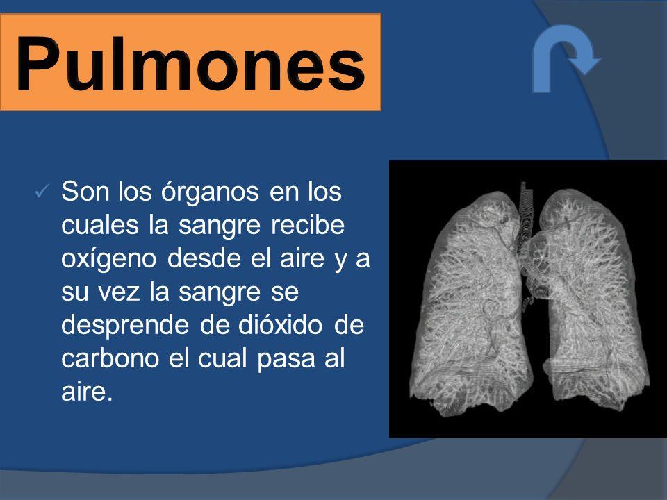 Son los órganos en los cuales la sangre recibe oxígeno desde el aire y a su vez la sangre se desprende de dióxido de carbono el cual pasa al aire.