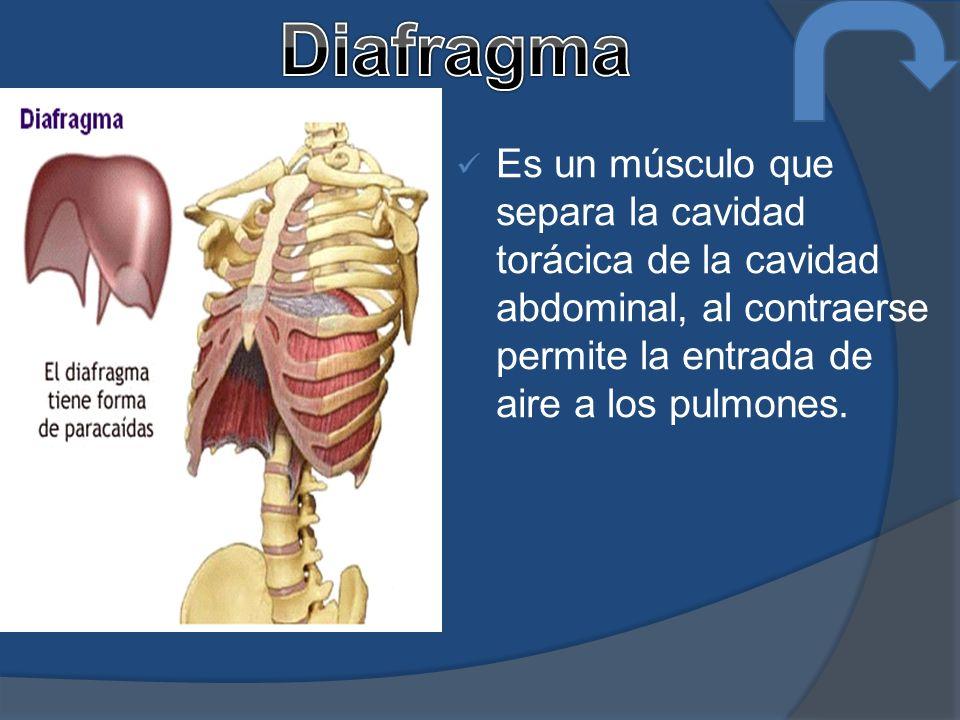 Es un músculo que separa la cavidad torácica de la cavidad abdominal, al contraerse permite la entrada de aire a los pulmones.