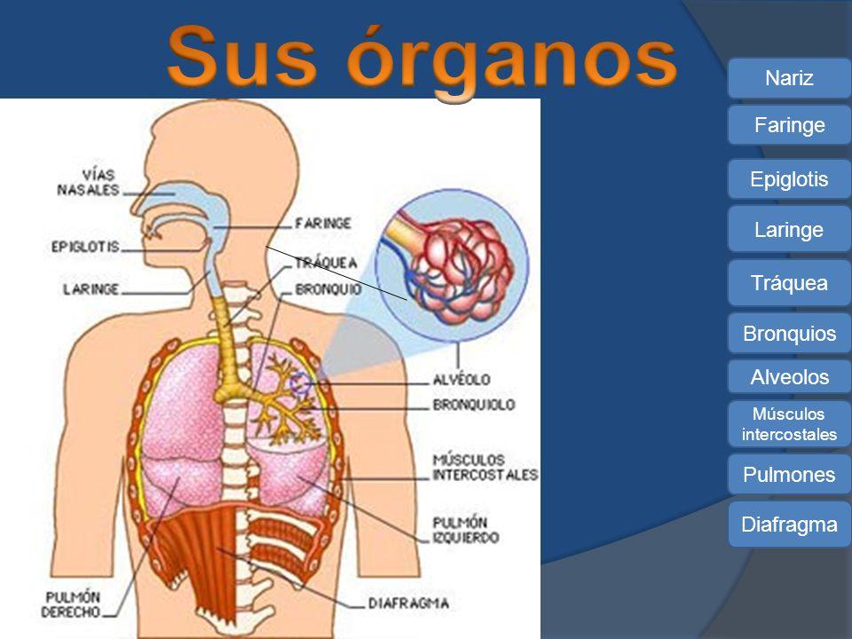 Nariz Bronquios Tráquea Pulmones Laringe Faringe Alveolos Diafragma Epiglotis Músculos intercostales