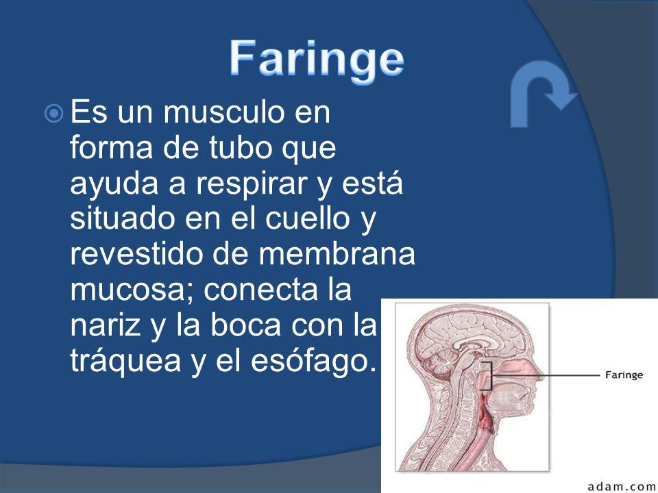 Es un musculo en forma de tubo que ayuda a respirar y está situado en el cuello y revestido de membrana mucosa; conecta la nariz y la boca con la tráquea y el esófago.