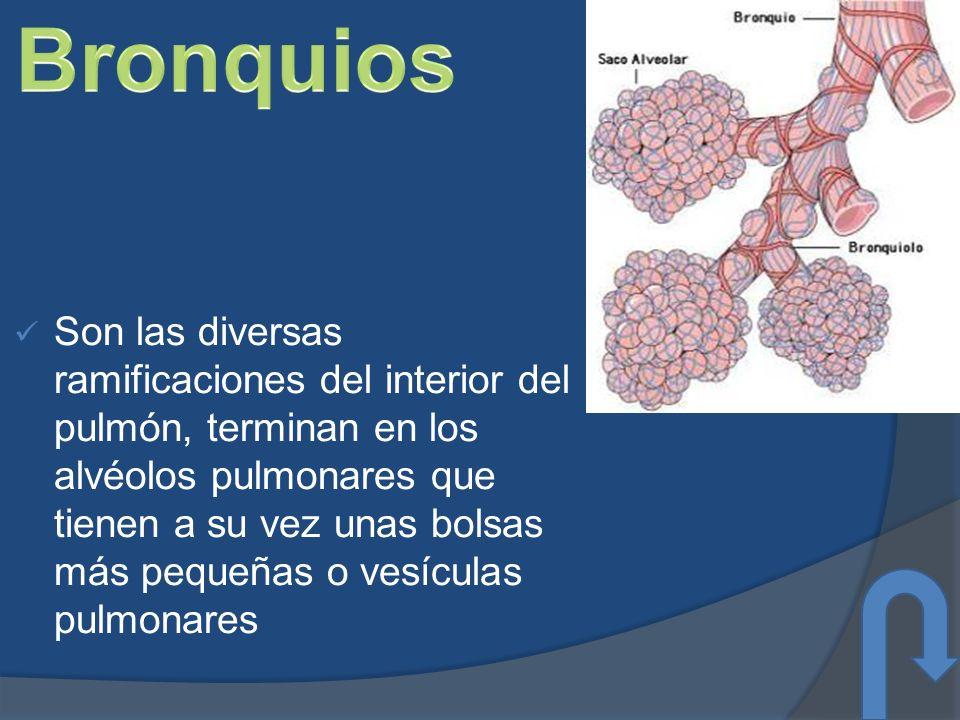 Son las diversas ramificaciones del interior del pulmón, terminan en los alvéolos pulmonares que tienen a su vez unas bolsas más pequeñas o vesículas pulmonares