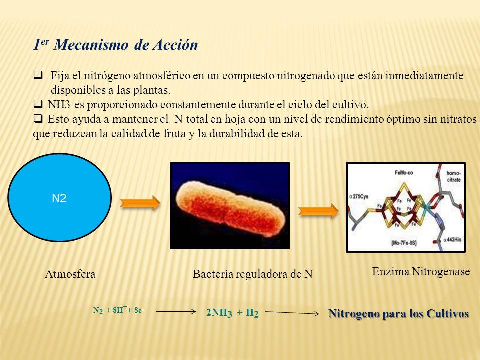 1 er Mecanismo de Acción Fija el nitrógeno atmosférico en un compuesto nitrogenado que están inmediatamente disponibles a las plantas. NH3 es proporci