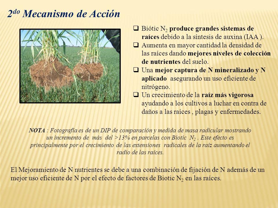 2 do Mecanismo de Acción Biótic N 2 produce grandes sistemas de raíces debido a la síntesis de auxina (IAA ). Aumenta en mayor cantidad la densidad de