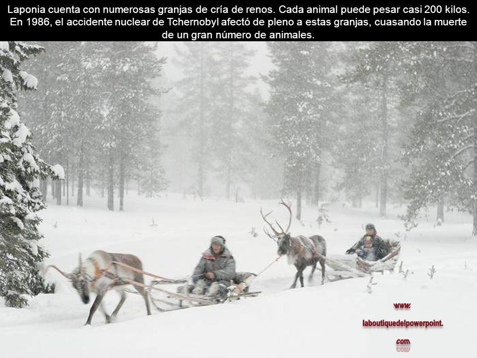 Laponia cuenta con numerosas granjas de cría de renos. Cada animal puede pesar casi 200 kilos. En 1986, el accidente nuclear de Tchernobyl afectó de p