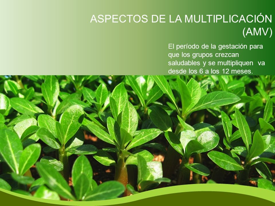 ASPECTOS DE LA MULTIPLICACIÓN (AMV) El período de la gestación para que los grupos crezcan saludables y se multipliquen va desde los 6 a los 12 meses.