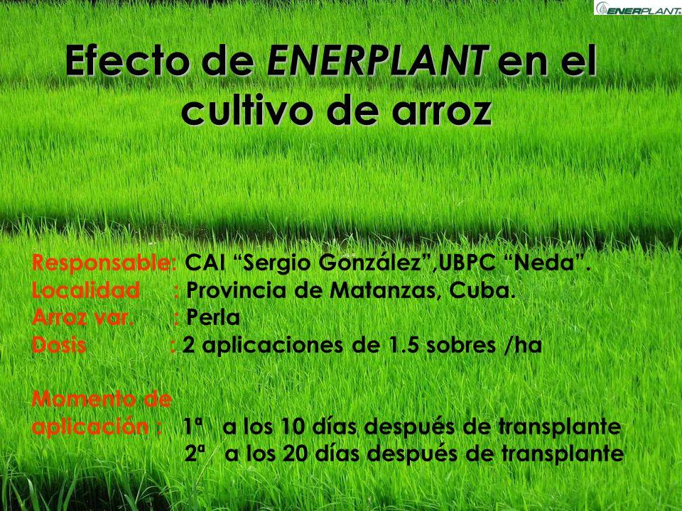 Efecto de ENERPLANT en el cultivo de arroz Responsable: CAI Sergio González,UBPC Neda. Localidad : Provincia de Matanzas, Cuba. Arroz var. : Perla Dos