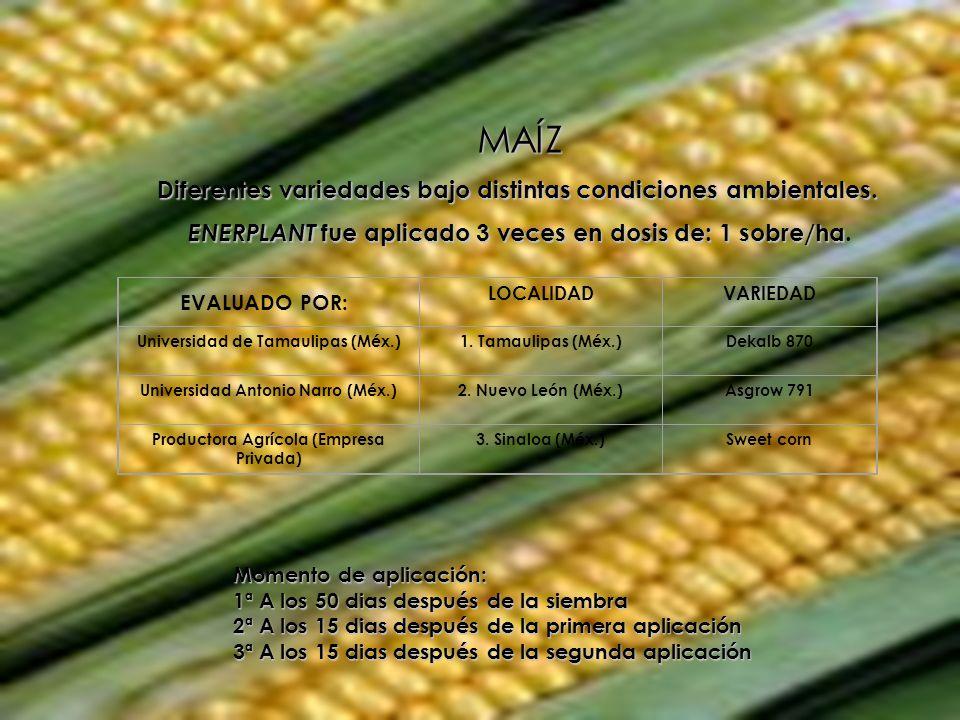 MAÍZ Diferentes variedades bajo distintas condiciones ambientales. ENERPLANT fue aplicado 3 veces en dosis de: 1 sobre/ha ENERPLANT fue aplicado 3 vec