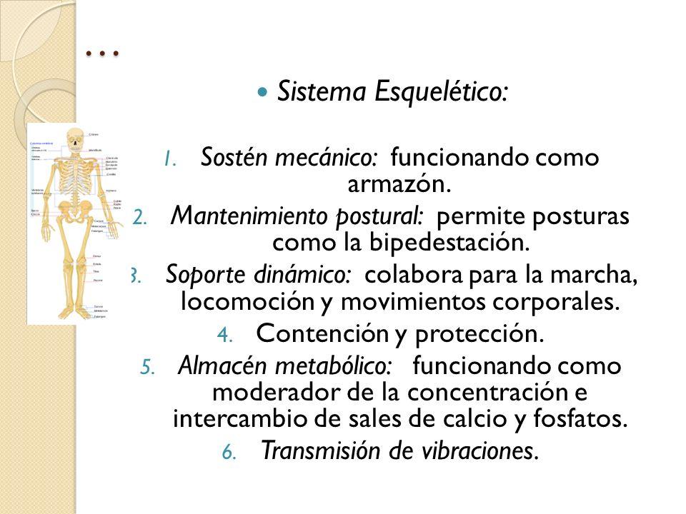 … Sistema Esquelético: 1. Sostén mecánico: funcionando como armazón. 2. Mantenimiento postural: permite posturas como la bipedestación. 3. Soporte din