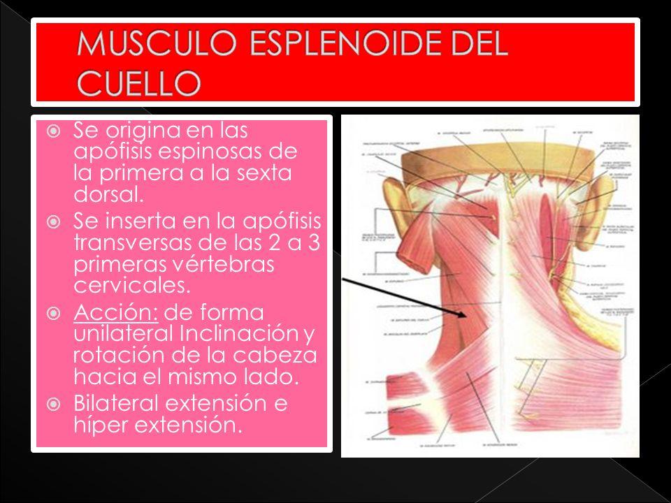 Se origina en las apófisis espinosas de la primera a la sexta dorsal. Se inserta en la apófisis transversas de las 2 a 3 primeras vértebras cervicales