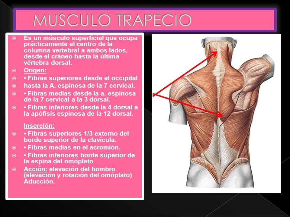 Es un músculo superficial que ocupa prácticamente el centro de la columna vertebral a ambos lados, desde el cráneo hasta la última vértebra dorsal. Or