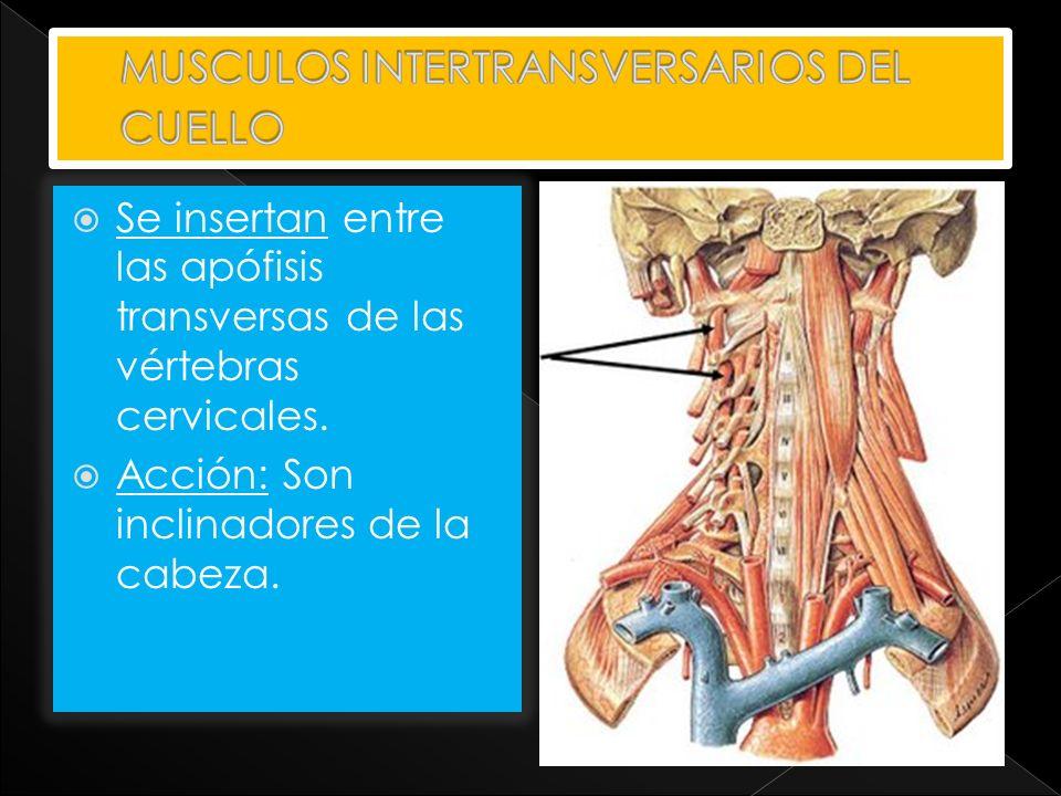 Se insertan entre las apófisis transversas de las vértebras cervicales. Acción: Son inclinadores de la cabeza.