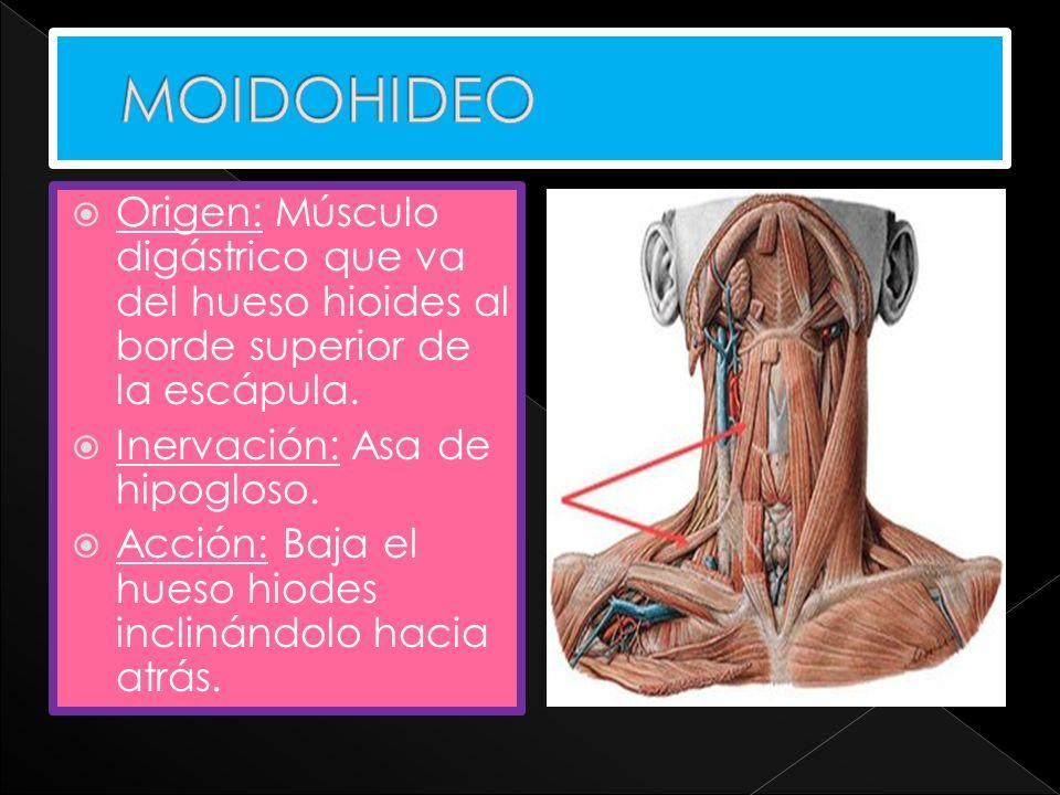 Origen: Músculo digástrico que va del hueso hioides al borde superior de la escápula. Inervación: Asa de hipogloso. Acción: Baja el hueso hiodes incli