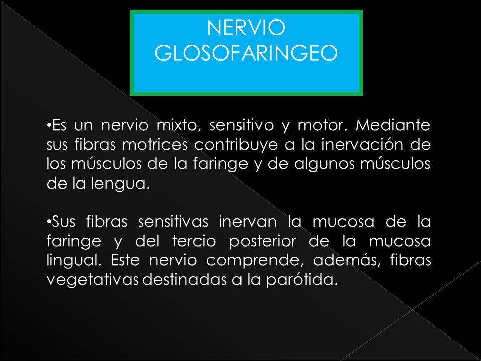 Es un nervio mixto, sensitivo y motor. Mediante sus fibras motrices contribuye a la inervación de los músculos de la faringe y de algunos músculos de