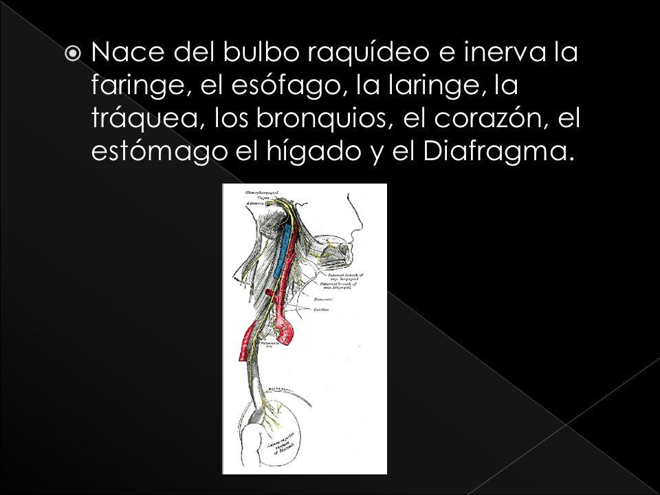 Nace del bulbo raquídeo e inerva la faringe, el esófago, la laringe, la tráquea, los bronquios, el corazón, el estómago el hígado y el Diafragma.