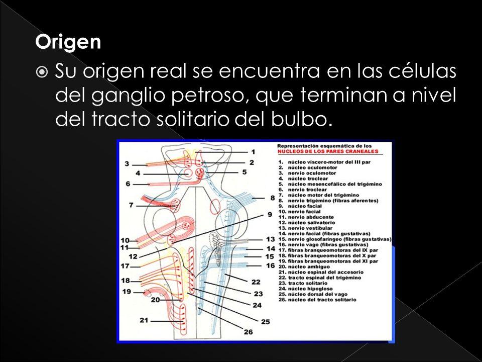 Origen Su origen real se encuentra en las células del ganglio petroso, que terminan a nivel del tracto solitario del bulbo.