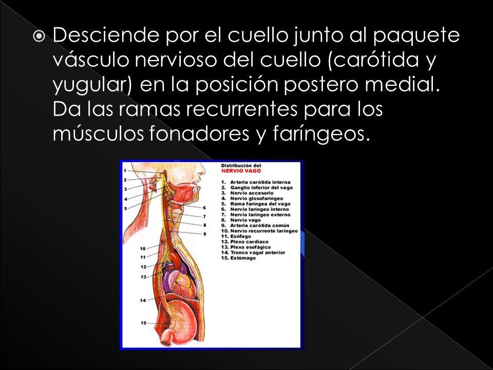 Desciende por el cuello junto al paquete vásculo nervioso del cuello (carótida y yugular) en la posición postero medial. Da las ramas recurrentes para