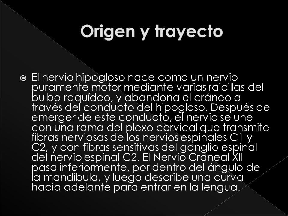 El nervio hipogloso nace como un nervio puramente motor mediante varias raicillas del bulbo raquídeo, y abandona el cráneo a través del conducto del h