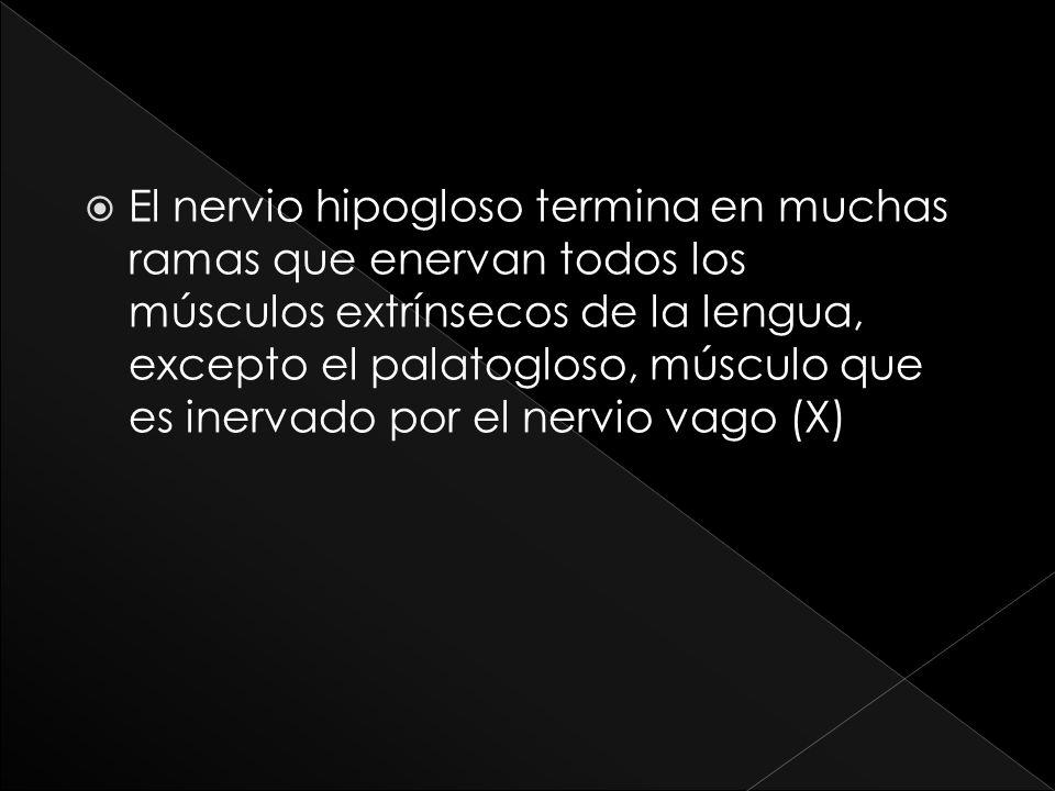 El nervio hipogloso termina en muchas ramas que enervan todos los músculos extrínsecos de la lengua, excepto el palatogloso, músculo que es inervado p