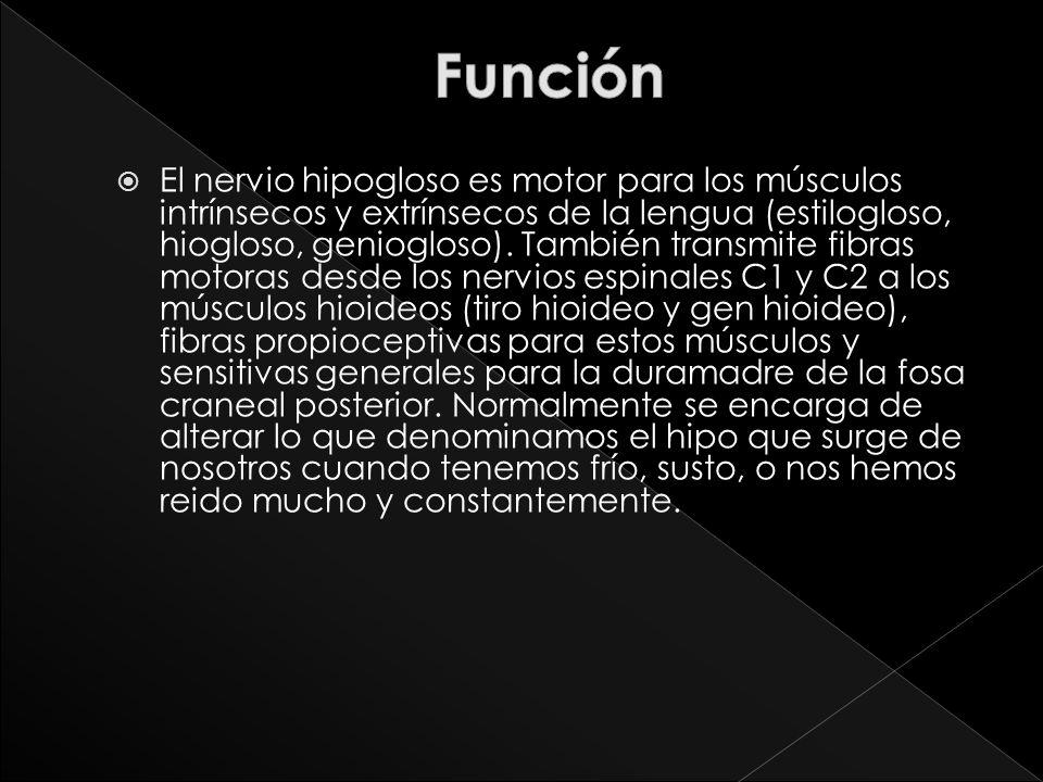 El nervio hipogloso es motor para los músculos intrínsecos y extrínsecos de la lengua (estilogloso, hiogloso, geniogloso). También transmite fibras mo